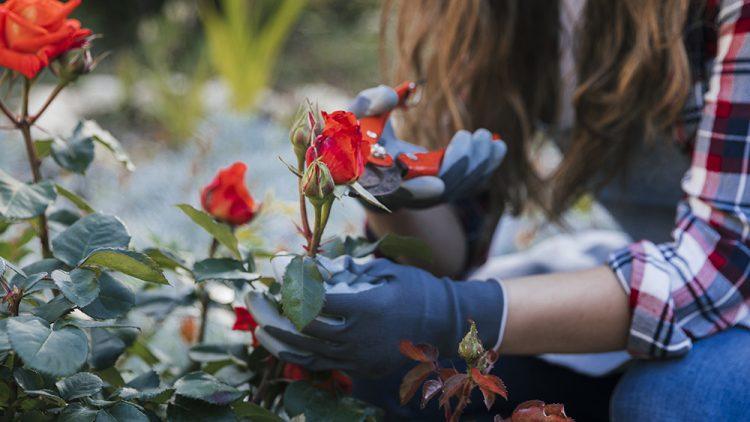 Candsa taiem tufisurile de trandafiri intr-o gradina?